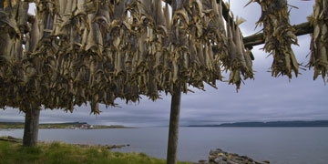 Drying cod. Photo: Erkki Hanna/shutterstock.com