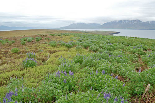 Lupin in Iceland. Photo: Sigurður H. Magnússon
