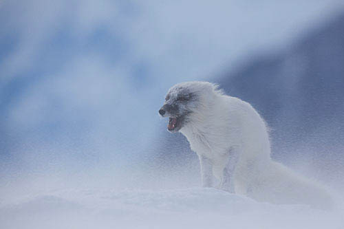 Arctic Fox Photo: Carsten Egevang/ARC-PIC.com