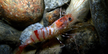 Shrimp species on sea floor. Photo: Gonzalo Bravo, Laval University
