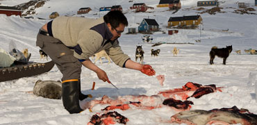 Inuit man cuts up seal. Photo: Carsten Egevang/ARC-PIC.com