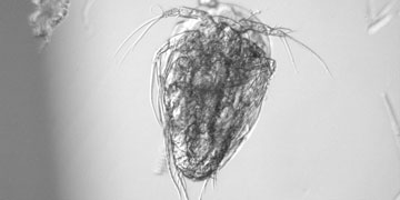 Nauplii, a young stage of copepod and an example of meiofauna. Photo Julia Ehrlich, Alfred Wegener Institute