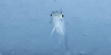 Polar cod. Photo: Shawn Harper, University of Alaska Fairbanks
