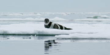Ribbon seal. Photo: Michael Cameron, Alaska Fisheries Science Center, NOAA Fisheries Service