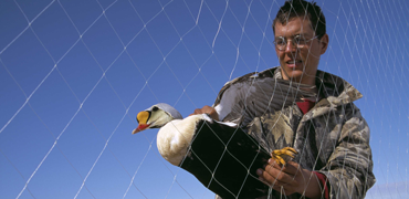 Local man retrieves eider from net. Photo: Grant Gilchrist