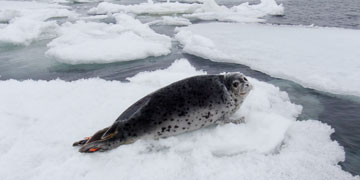 Spotted seal. Photo: Jay Verhoef, Alaska Fisheries Science Center, NOAA Fisheries Service