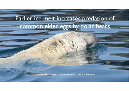 Earlier ice melt increases predation of common eider eggs by polar bears: Allison Patterson
