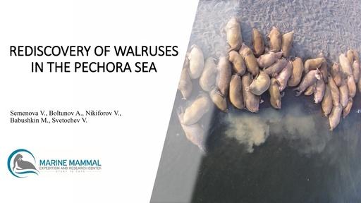 Rediscovery of walruses in the Pechora Sea: Varvara Semenova and Andrei Boltunov